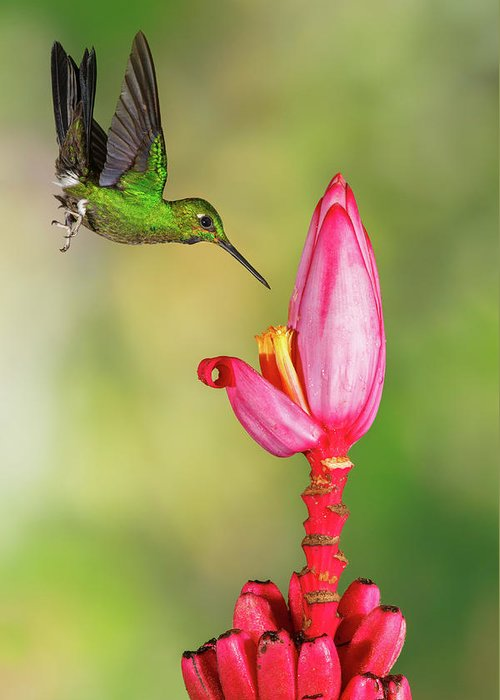 Green-crowned Brilliant Greeting Card featuring the photograph Hummingbird , Green-crowned Brilliant by Kencanning