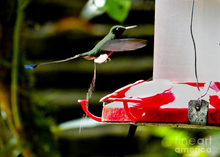 Racquet Tail Greeting Card featuring the photograph Hummingbird Business by Al Bourassa