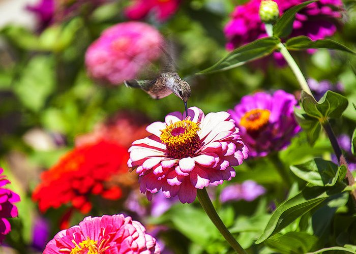 Hummingbird Greeting Card featuring the photograph Hummingbird Flight by Garry Gay