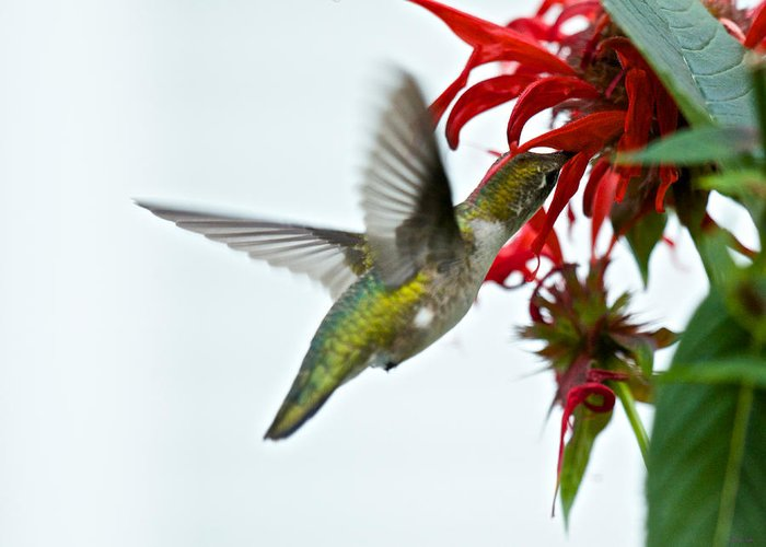 Birds Greeting Card featuring the photograph Hummingbird Focused On The Scarlet Bee Balm by Kristin Hatt