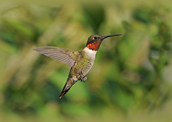Bird Greeting Card featuring the photograph Hummingbird In Flight by Sandy Keeton