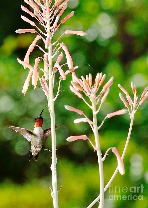 Hummingbird Greeting Card featuring the photograph Hummingbird Pink Green - Floating Hummingbird Flashes Red by Wayne Nielsen