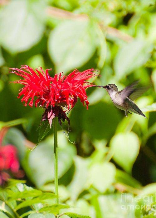 Nature Greeting Card featuring the photograph Hummingbird by Wayne Valler