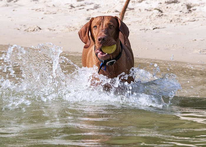 Hungarian Vizsla Greeting Card featuring the photograph Hungarian Vizsla With Ball At The Beach by Melody Watson