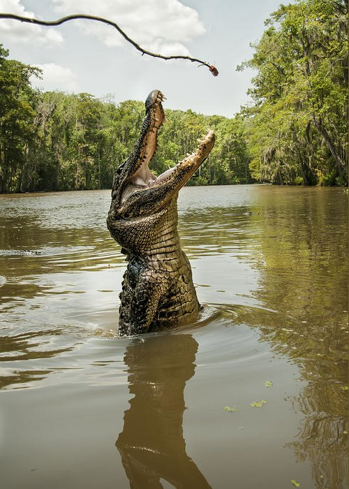 Alligator Greeting Card featuring the photograph Hungry Alligator by Gayle Jenkins