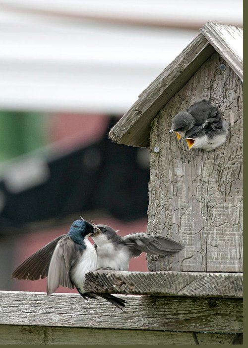 Swallow Greeting Card featuring the photograph Hungry Babies by Betty Depee