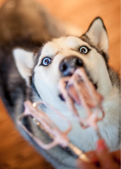 Husky Greeting Card featuring the photograph Hungry Eyes by April Reppucci