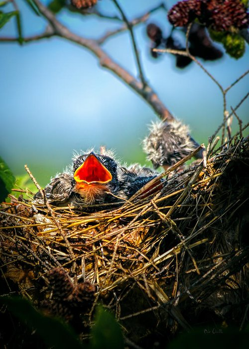 Swallows Greeting Card featuring the photograph Hungry Tree Swallow Fledgling In Nest by Bob Orsillo