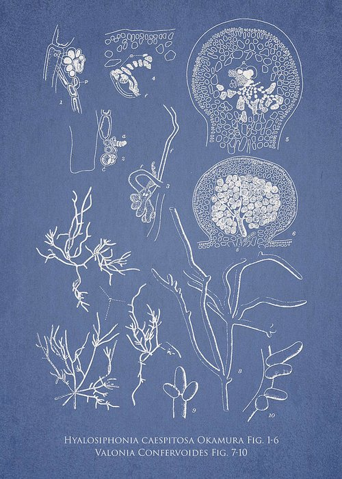 Algae Greeting Card featuring the drawing Hyalosiphonia Caespitosa Okamura Valonia Confervoides by Aged Pixel