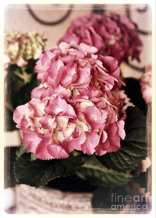 Hydrangea Greeting Card featuring the photograph Hydrangea On The Veranda by Carol Groenen