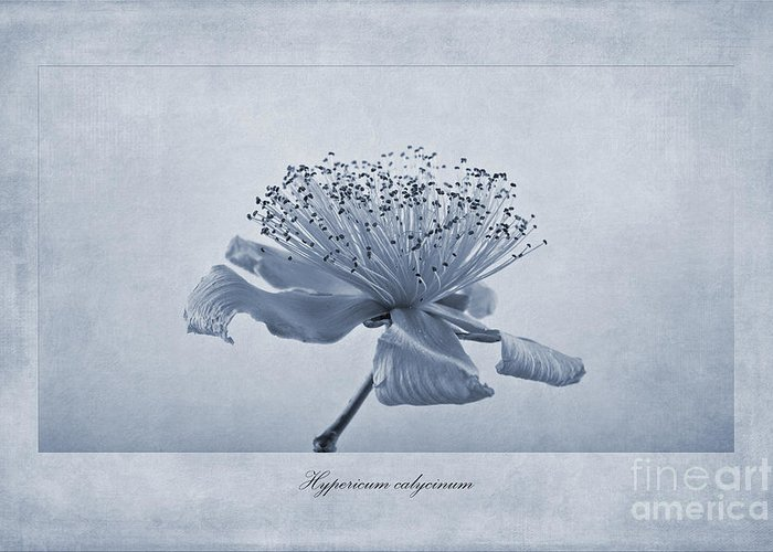 Rose Of Sharon Greeting Cards