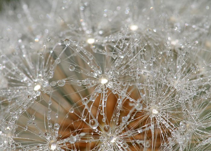 Dandelion Greeting Card featuring the photograph I Might've Gone To Seed But I Still Know How To Party by Peggy Collins