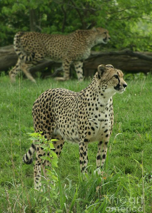 Cheetah Greeting Card featuring the photograph I See Dinner by Crystal Nederman