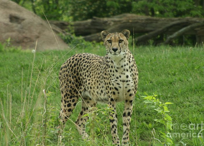 Cheetah Greeting Card featuring the photograph I Spy by Crystal Nederman