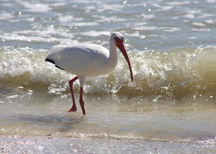 Ibis Greeting Card featuring the photograph Ibis Walking The Beach by Christiane Schulze Art And Photography