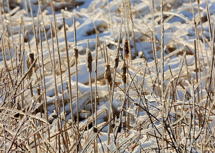 Ice Greeting Card featuring the photograph Ice Coated Bullrushes by Louise Heusinkveld
