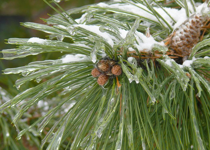 Pine Cone Greeting Card featuring the photograph Iced Over Pine Cones by Tracy Winter
