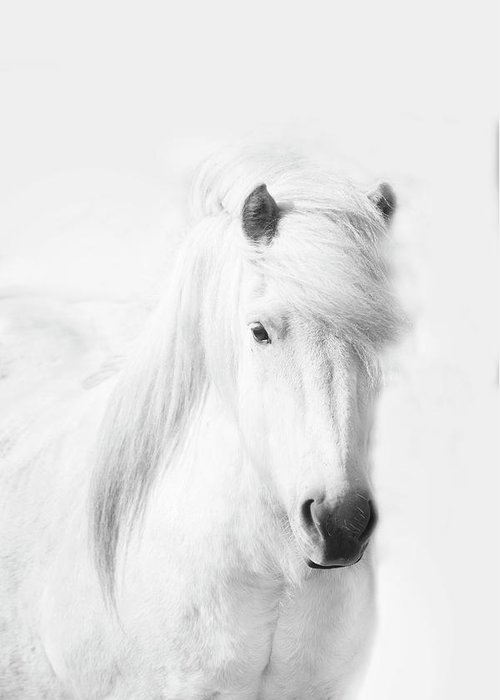 White Background Greeting Card featuring the photograph Icelandic Pony In White by Grant Faint