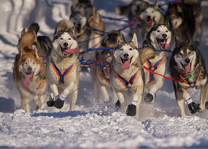 Snow Greeting Card featuring the photograph Iditarod Huskies by Alaska Photography
