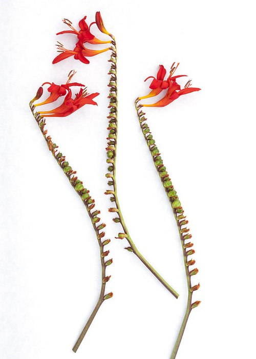 Crocosmia Greeting Card featuring the photograph If Seahorses Were Flowers by Carol Leigh
