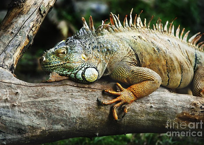 Iguana Greeting Card featuring the pyrography Iguana by Jelena Jovanovic