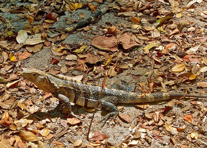 Iguana On A Trail In Manuel Antonio National Preserve In Costa Rica Greeting Card featuring the photograph Iguana On A Trail In Manuel Antonio National Preserve-costa Rica by Ruth Hager