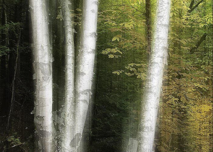 New England Greeting Card featuring the photograph Illuminated Birch by Scott Snyder
