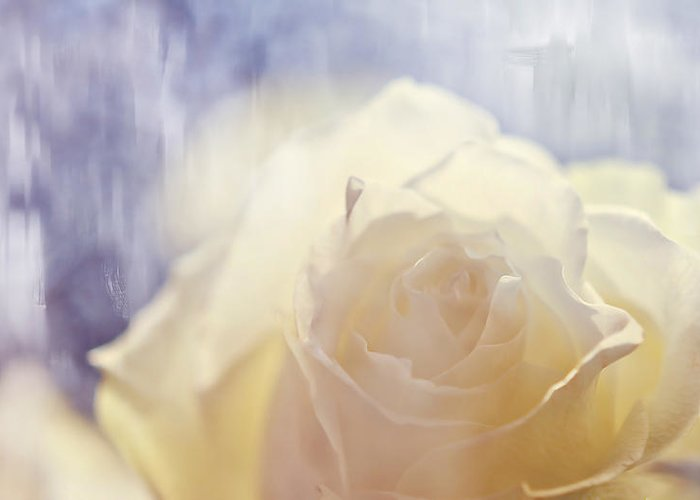 Rose Greeting Card featuring the photograph Illusion by Jenny Rainbow