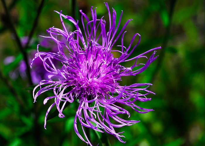 Wildflower Greeting Card featuring the photograph Knapweed by David Mortenson