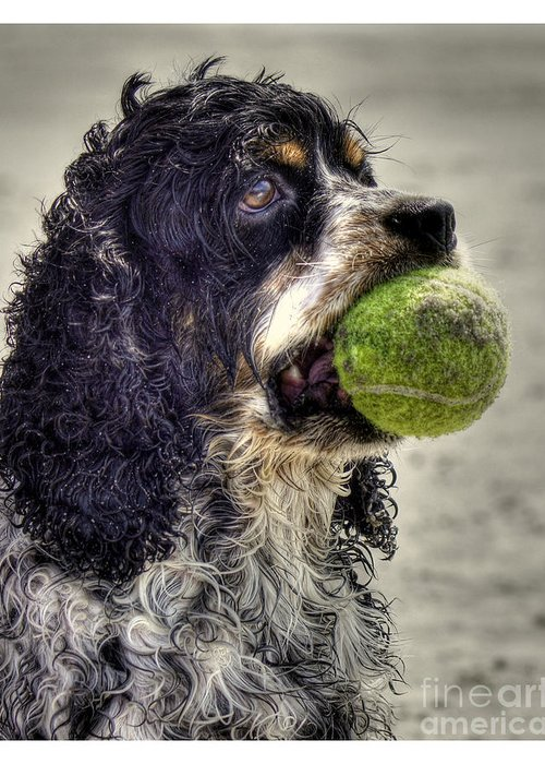 Cocker Spaniel Greeting Card featuring the photograph I'm Ready To Play by Benanne Stiens
