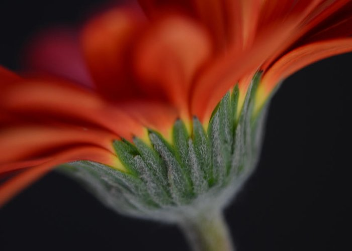 Flower Greeting Card featuring the photograph Impassioned by Melanie Moraga