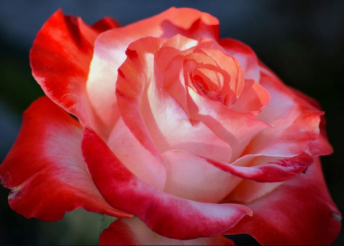 Rose Greeting Card featuring the photograph Imperfect Rose by Deb Halloran