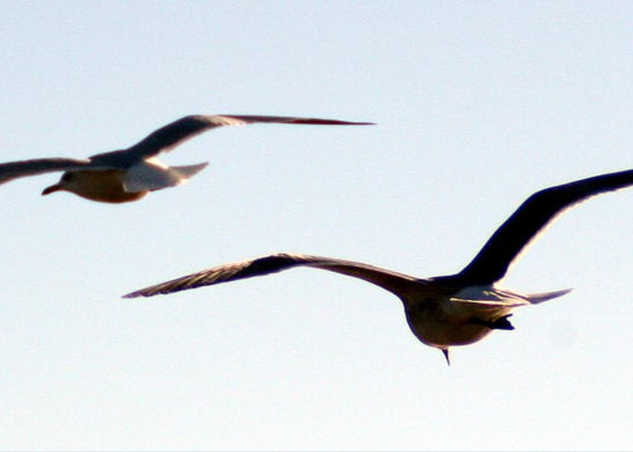 Birds Flying Greeting Card featuring the photograph In Flight by Mechala Matthews