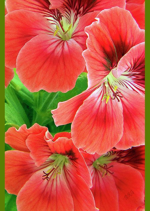 Red Greeting Card featuring the photograph In The Garden. Geranium by Ben and Raisa Gertsberg