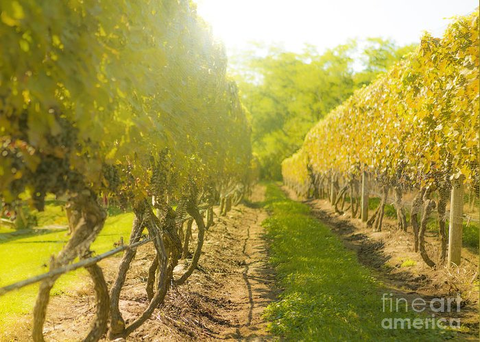 Vineyard Greeting Card featuring the photograph In The Vineyard by Diane Diederich