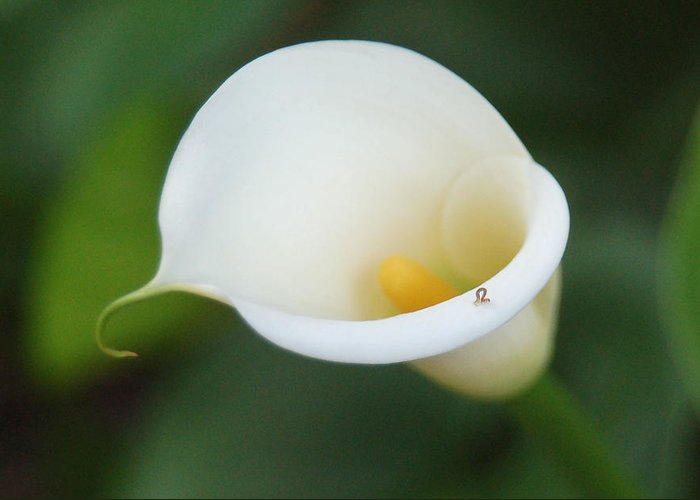 White Calla Lily Greeting Card featuring the photograph Inching Along by Suzanne Gaff