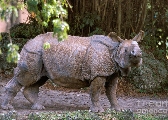 Indian Rhinoceros Greeting Card featuring the photograph Indian Rhinoceros by Mark Newman
