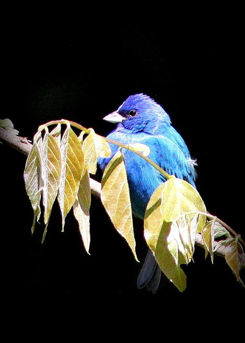 Indigo Bunting Greeting Card featuring the photograph Indigo Bunting - Img 423-008 by Travis Truelove