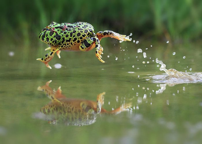 Grass Greeting Card featuring the photograph Indonesia, Riau Islands, Frog Jumping by Shikheigoh