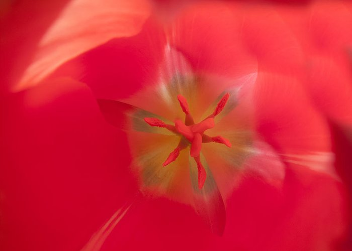 Macro Greeting Card featuring the photograph Inside A Tulip by Derek Dean