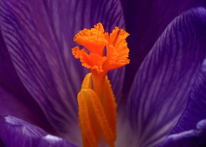 Crocus Greeting Card featuring the photograph Interior Design by Rona Black