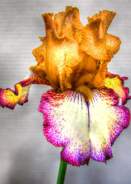 Iris Greeting Card featuring the photograph Iris #17 by John Derby