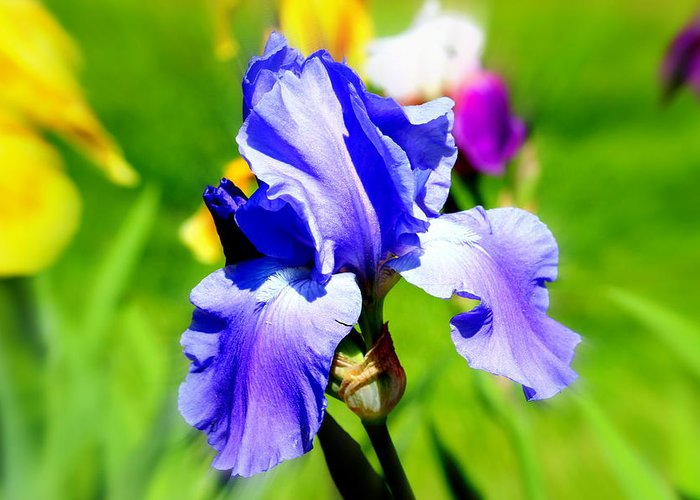 Iris Greeting Card featuring the photograph Iris In Bloom by Barbara Giuliano