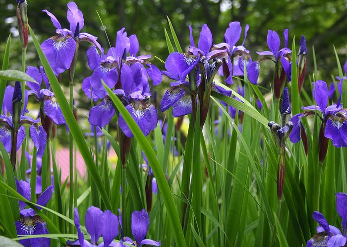 Irises Greeting Card featuring the photograph Irises In Spring by Wendy Raatz Photography