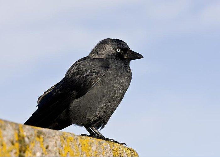 Jackdaw Greeting Card featuring the photograph Jackdaw by Science Photo Library