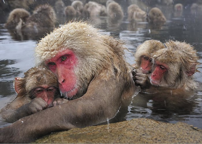 Thomas Marent Greeting Card featuring the photograph Japanese Macaque Grooming Mother by Thomas Marent