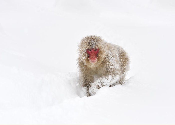 Thomas Marent Greeting Card featuring the photograph Japanese Macaque In Snow Jigokudani by Thomas Marent