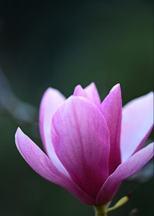 Japanese Greeting Card featuring the photograph Japanese Magnolia by Keith Gondron