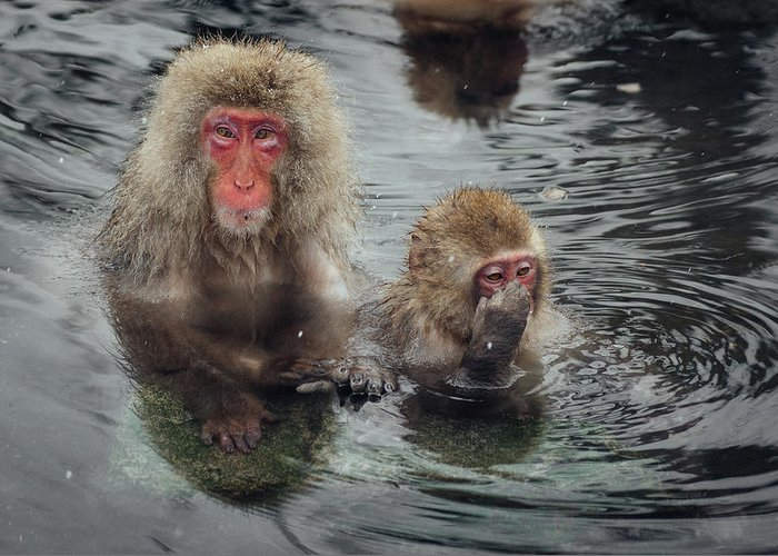 Animal Themes Greeting Card featuring the photograph Japanese Snow Monkeys Enjoying The Hot by Photography By Martin Irwin