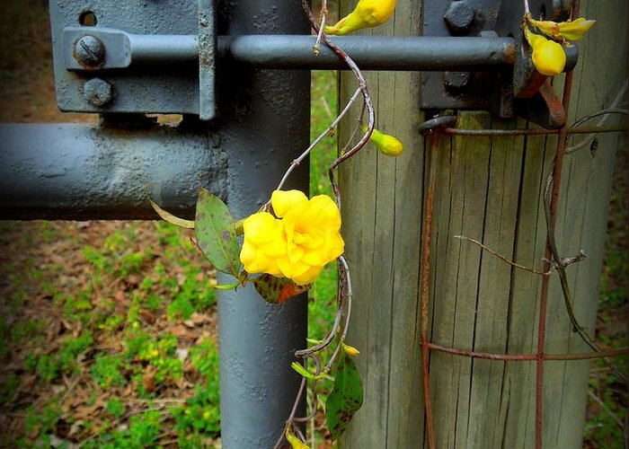 Funky Greeting Card featuring the photograph Jasmine Flowers On Gate Latch by Renee Trenholm